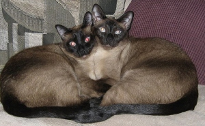 http://www.globalanimal.org/wp-content/uploads/2011/07/Siamese-Cats.jpg