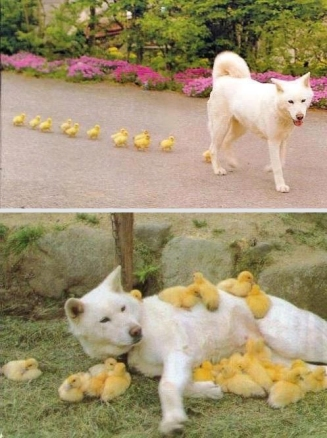 dog-with-ducklings