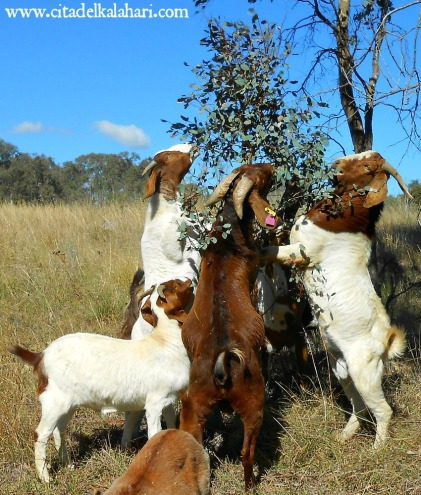 goats eating trees