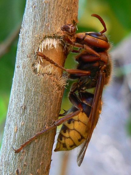 European_hornet_lateral_view