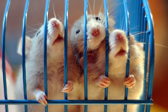 rats behind bars